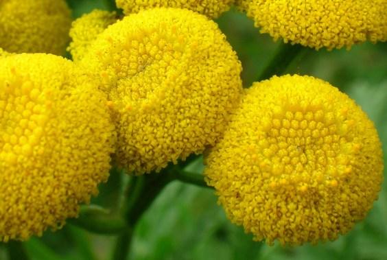 Close_up_of_Tanacetum_vulgare_flower_head